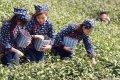 农民日报盛赞信阳:一片茶叶带富一方百姓