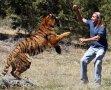 美男子训练老虎进行攻击 场面刺激