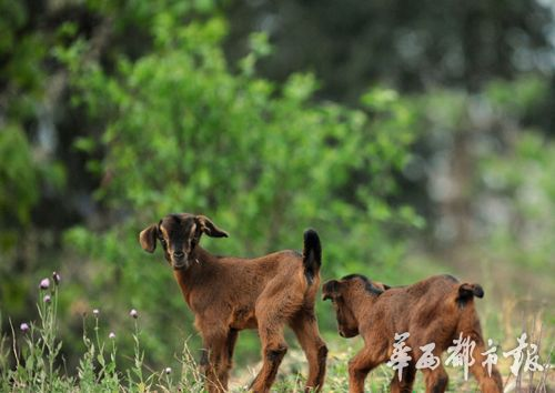 黄甲镇的养羊产业有着悠久的历史,起源于黄帝,发展于蚕丛,繁荣于当代。