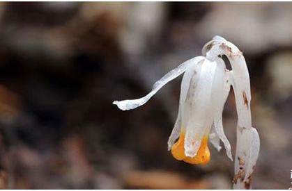 传说中的冥界之花,原来长这样!