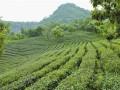 做强平桥茶产业 助力农民增收脱贫