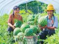 光山:西瓜熟了瓜农忙 群众增收喜洋洋