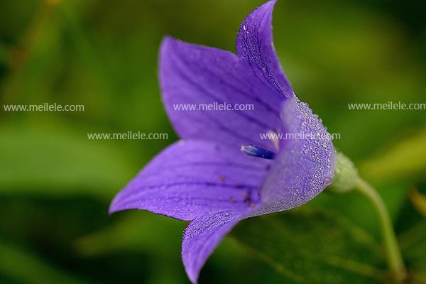 桔梗花的花语是什么 桔梗花的花语和传说