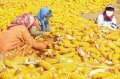 收购玉米被判刑 判决生效后一度引发舆论争议