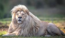 摄影师捕捉白狮「甩发」超美瞬间